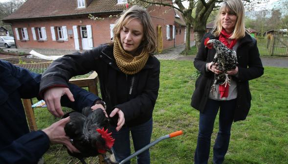 Hier matin, Marine est venue chercher une 2e poule. Lise Daleux, l'adjointe écolo, a déjà les siennes.  PHOTO EDOUARD BRIDE